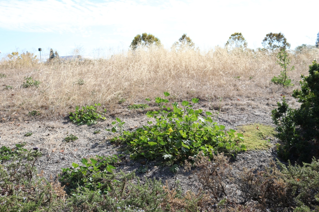 another view of the mound, this one includes mostly alive weeds and plants.  In the center is mallow.