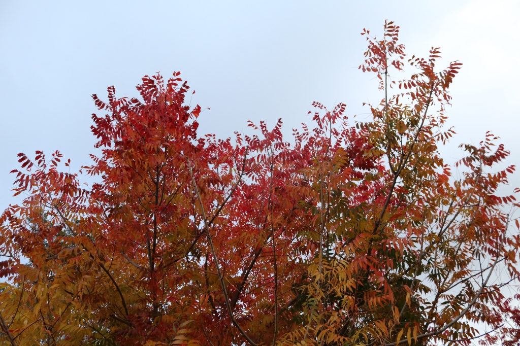 The top leaves of a tree sit against a bright blue sky.  The leaves are vibrant fall colors, reds, oranges, and some yellows toward the bottom.
